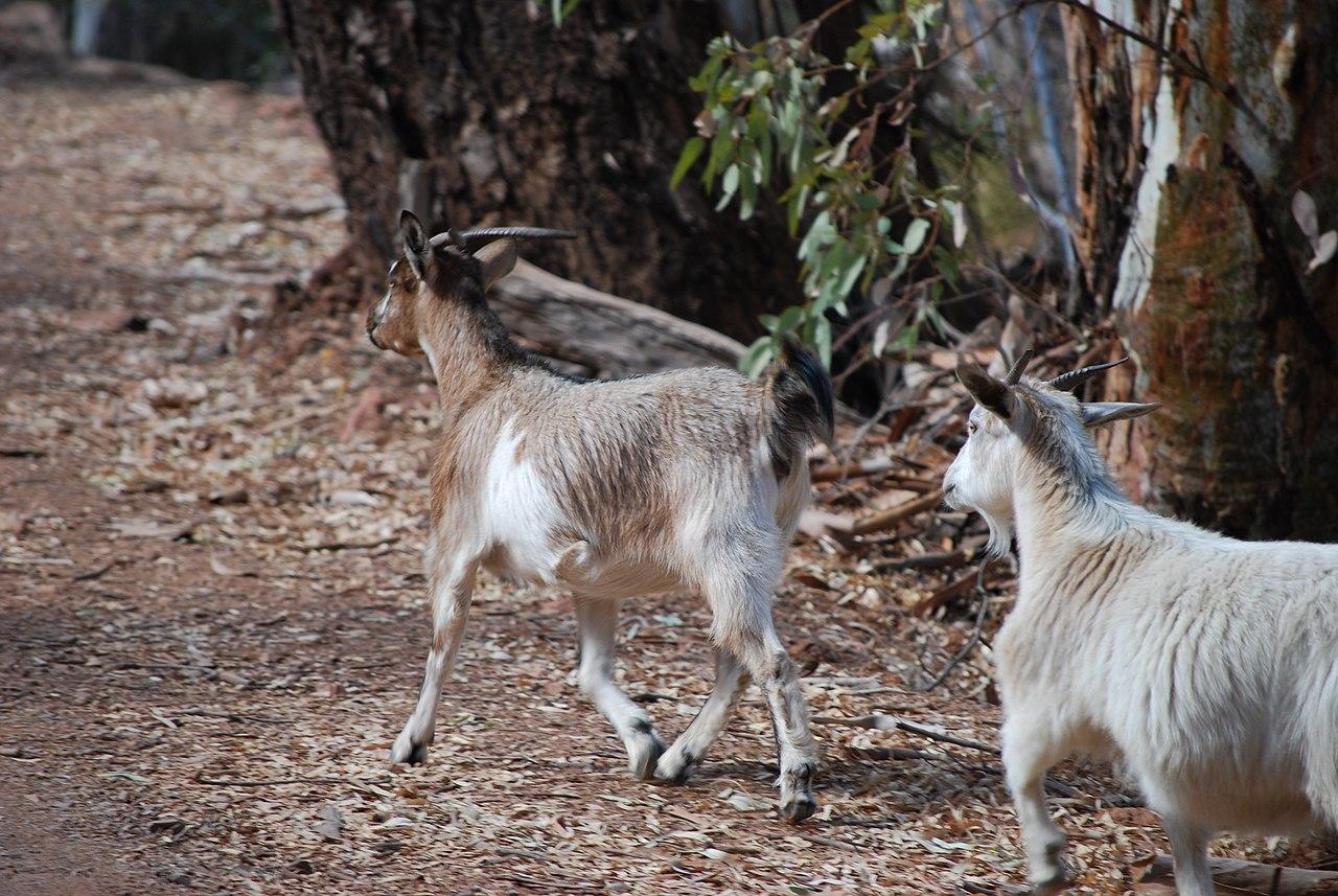 File Goats