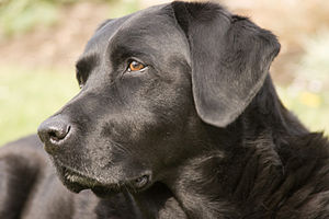 A female black Labrador Retriever named Ellis.