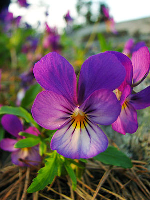 This picture shows a Heartsease (also Wild Pan...