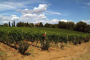 Sangiovese vines of Brunello di Montalcino in ...