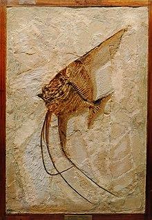 Giacimenti Fossiliferi Di Bolca Wikipedia