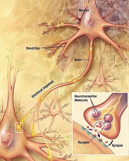 Spines Dendritic Located Are