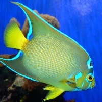 QUEEN ANGELFISH:  COLOURFUL CORAL ROYALTY: BAHAMAS REEF FISH (13)