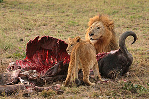 Male Lion (Panthera leo) and Cub eating a Cape...
