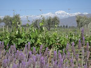 A vineyard just outside mendoza with the Andes...