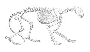 Tiger skeleton