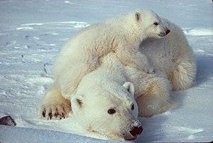 Ursus_maritimus_Polar_bear_with_cub.jpg, with ...