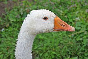 Domesticated goose in Bohoniki.