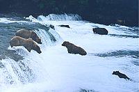 Los osos pardos arroyos caen.jpg