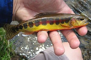English: This picture if of a Golden Trout fro...