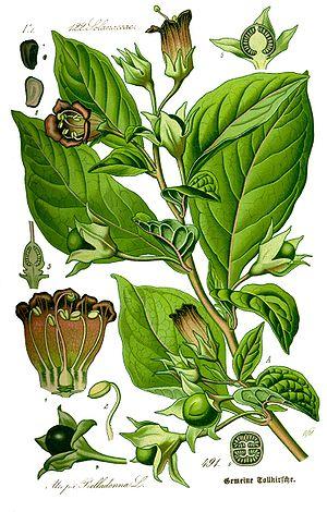 ;Name: Atropa belladonna ;Family: Solanaceae
