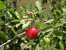https://i2.wp.com/upload.wikimedia.org/wikipedia/commons/thumb/3/31/Malpighia_glabra_blossom_and_fruit.jpg/220px-Malpighia_glabra_blossom_and_fruit.jpg