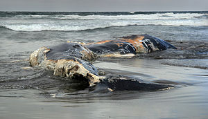 English: A dead whale washed ashore at Ocean b...