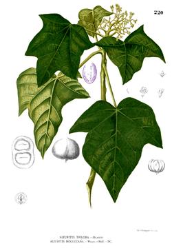 Ilustrasi kemiri abad ke-19 dari Blanco