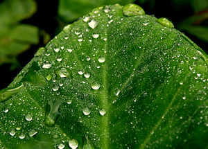 English: Morning dew on a leaf