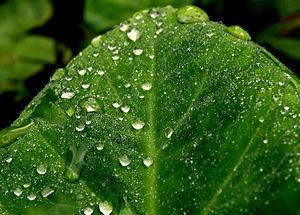 English: Morning dew on a leaf