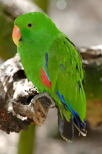 Eclectus Parrot - melbourne zoo.jpg