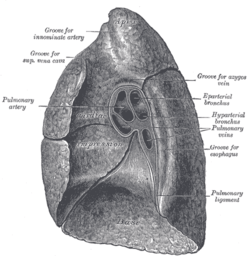 Root of the lung  Wikipedia
