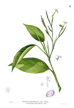 Garut, Maranta arundinaceamenurut F.M. Blanco, Flora de Filipinas