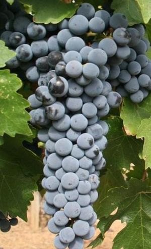 Cropped image of Cabernet Sauvignon grapes fro...
