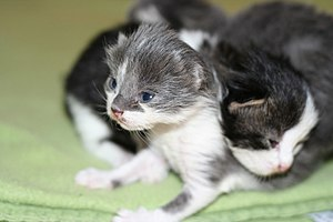 Four ten-day-old kittens