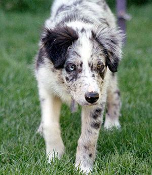 Blue merle Border Collie pup at 15 weeks start...