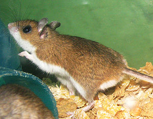 English: Captive bred Peromyscus maniculatus (...
