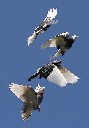 A flock of domestic Rock Pigeons ( Columba liv...