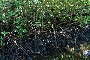 Mangrove in Jozani Forest, Zanzibar.