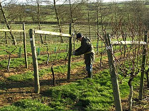 English: Pruning the vines