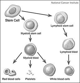 Stem cells maturing into blood cells and precursor cells