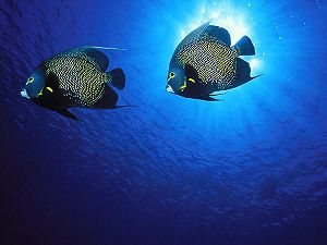 French Angelfish, Andrew Dawson Wildlife Photo...