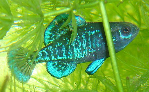 Elassoma Gilberti male in breeding colors