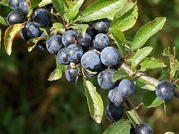 English: Hedgerow, Kirkstead Sloe berries.