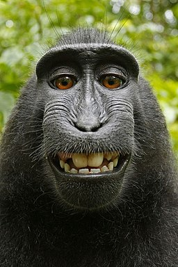 Macaca nigra self-portrait (rotated and cropped)