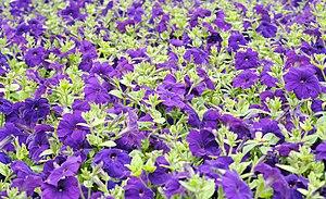 English: A Petunia sp.