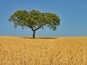 Oak on wheat field, a typical image of the Ale...