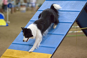 A Border Collie descending an A-frame at an ag...