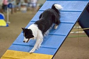 A Border Collie descending an A-frame at an ag...