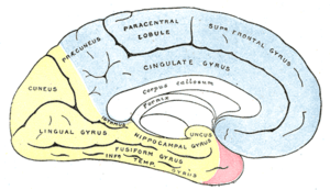 Medial surface of cerebral hemisphere, showing...