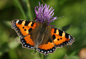 The Small Tortoiseshell (Nymphalis urticae) is...