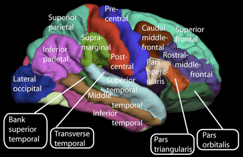 File:Lateral surface of cerebral cortex - gyri.png