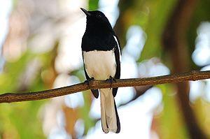 English: Oriental Magpie Robin മലയാളം: മണ്ണാത്...