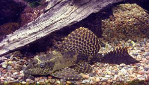 English: Sailfin pleco (Pterygoplichthys gibbi...
