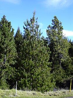 Pinus Patula Wikispecies