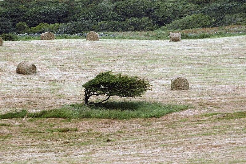 File:Windswept tree in Clare.jpg