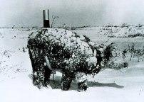 Stier nach Blizzard (Quelle: wikipedia)