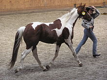 American Paint Horse   Wikipedia A regular registry Paint