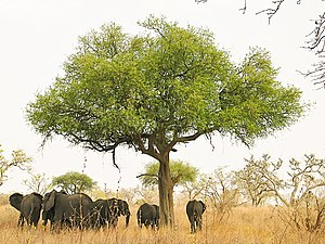 Elephants around an acacia (?) tree in Waza Pa...