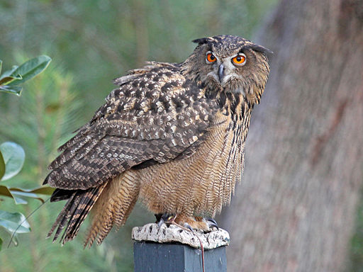 https://i2.wp.com/upload.wikimedia.org/wikipedia/commons/thumb/3/36/Eurasian_Eagle-Owl_RWD.jpg/512px-Eurasian_Eagle-Owl_RWD.jpg